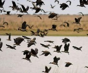 Ducks-Photo-Gallery-Duck-Hunting-In-Argentina-With-Nacho-CyC-Outfitters
